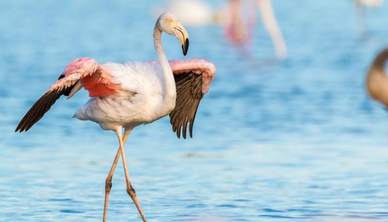 Spanien - Roquetas de Mar - flamingo