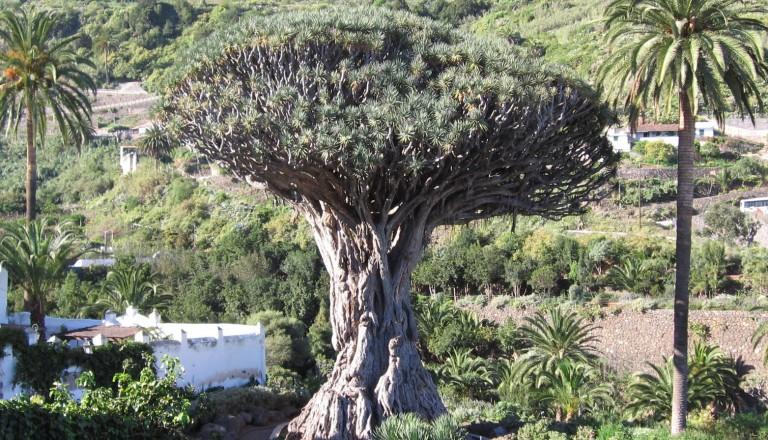 Tenerife- Icod de los Vinos